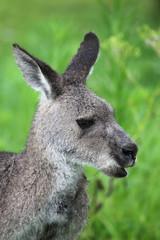 Poster de jardin Kangaroo Östliches Graues Riesenkänguru (Macropus giganteus)