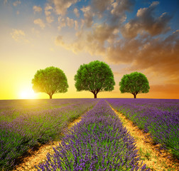 Lavender fields in Provence at sunset - France, Europe.