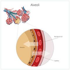 Alveoli vector illustration