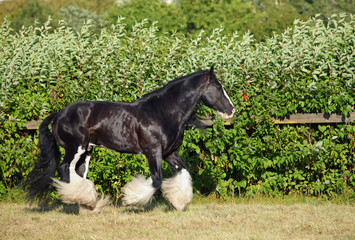 Tinker traveller pony with long tail
