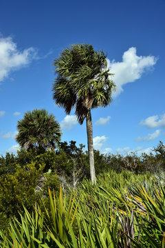 Healthy sabal palm trees, the state tree of Florida and South Carolina.