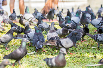 A lot of pigeons around scattered feed.