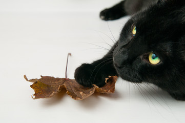 black cat with his paw on a fall leaf