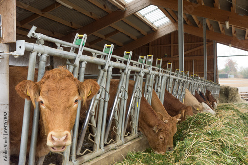 Wall mural Kühe fressen Frischfutter