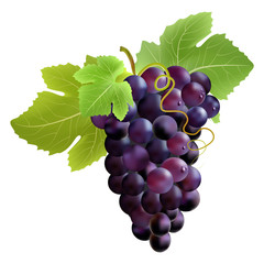 Bunch of grape. Created with gradient meshes.