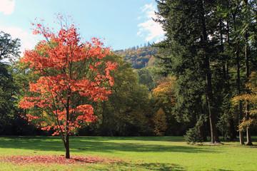 Beautiful fall red tree