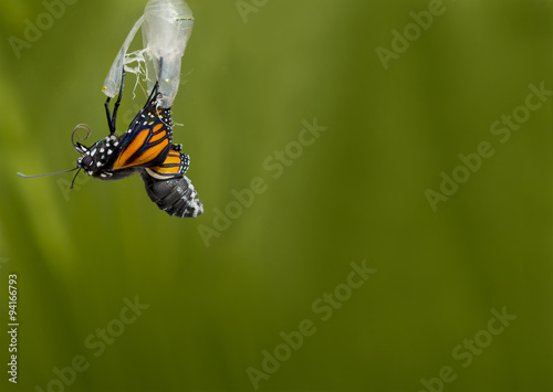 Monarch Butterfly Coming out of Pupa