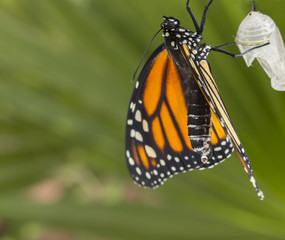 Monarch butterfly with cocoon drying wings