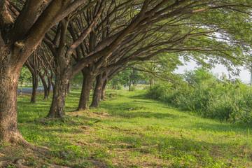 natural way with Samanea saman, Big rain tree