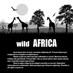 Wild Africa poster. Giraffes silhouettes on white with space for your text, vector illustration
