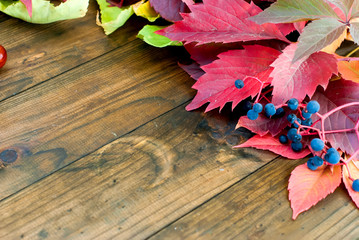 autumn burgundy leaves of wild grapes