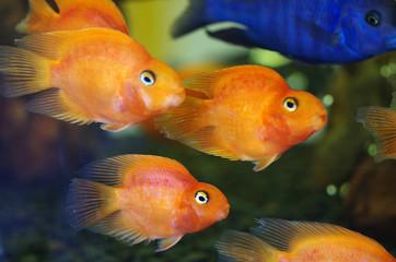 Blood Red Parrot Cichlid aquarium fish