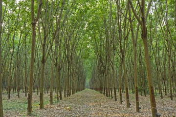 The rubber trees garden in Thailand - Raw of para rubber trees