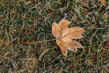 Wallpaper maple leaf covered with frost in autumn