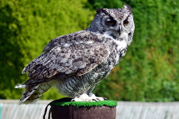 African Spotted Owl  at a birds of prey centre