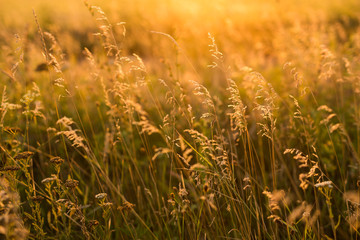 Wild grass in the meadow