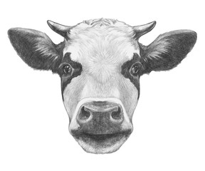 Portrait of Cow. Hand drawn illustration.