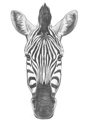 Portrait of Zebra. Hand drawn illustration.