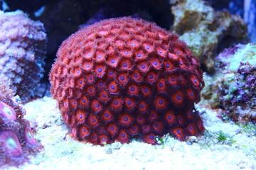 Amazing red coral in coral reef aquarium