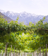 Spring Vineyard, Andes, Chile
