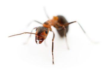 Brown forest ant.