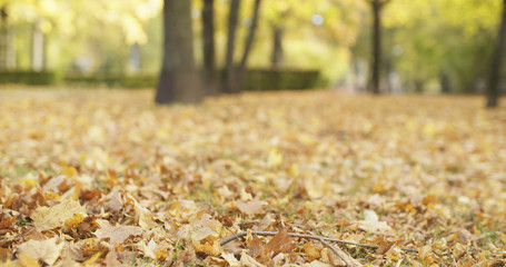 autumn maple leaves in park