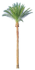 Date palm tree isolated
