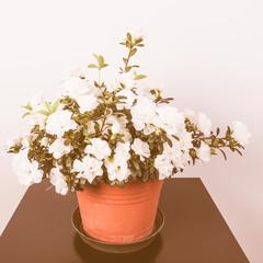 Retro looking White Azalea flower