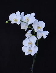 white orchid flowers closeup on black background