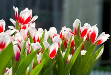 Red white tulip flowers