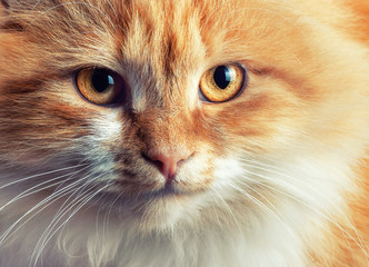 Portrait of beautiful red-haired cat
