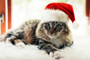 christmas cat in red Santa Claus cap