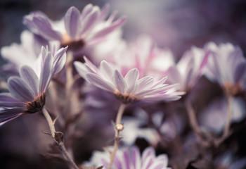 Fototapeta fresh fall garden flowers at abstarct background obraz