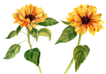 Two watercolor sunflowers with green leaves on white background