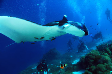 Manta Ray (Manta Birostris) Approaching Closely, with Divers in the Background. Komodo, Indonesia
