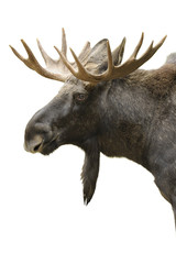 Moose portrait isolated
