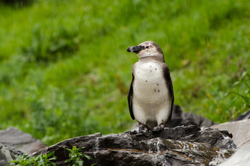 Pinguino, Boulders, Cape Town -  Sudafrica