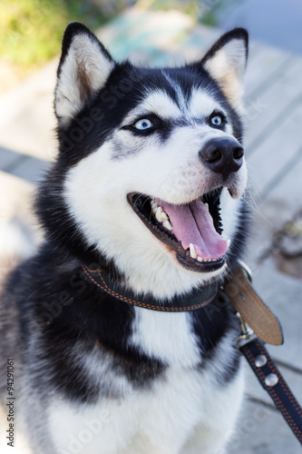 Siberian Black And White Husky Dog With Blue Eyes Stock Photo And