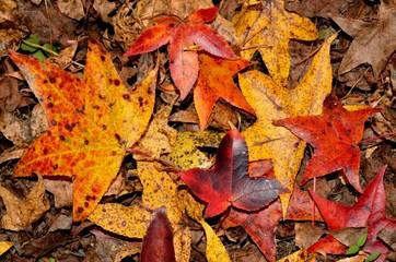 Colorful festive vibrant fall leaves