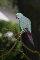 Blue Indian ring-necked parrot on tree branch