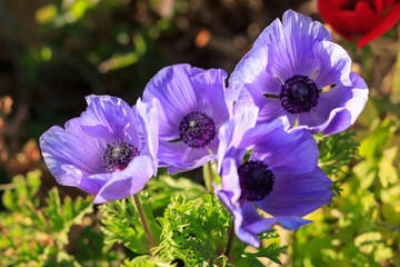 Group violet anemones