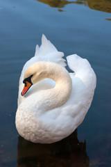 White swan swimming on the lake