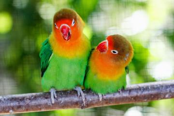 Fond de hotte en verre imprimé Perroquets Beautiful green lovebird parrot