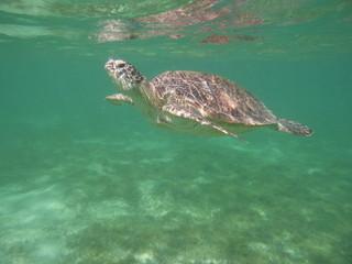Meeresschildkröte holt Luft