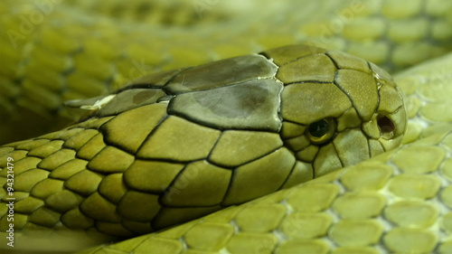 Green and shiny scales of the king cobra curling up on the