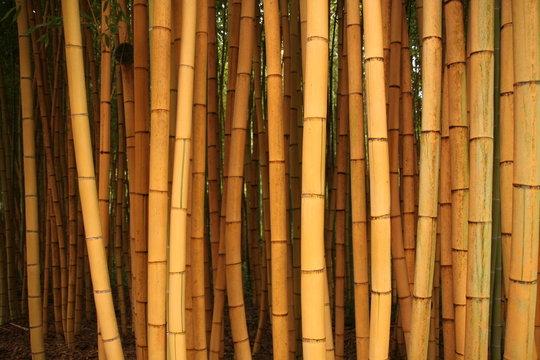 bambous 6