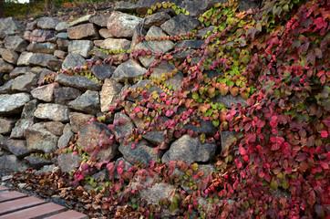 Ivy on a stony wall