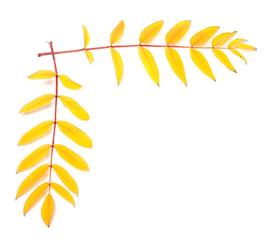 Yellow autumn rowan leaves