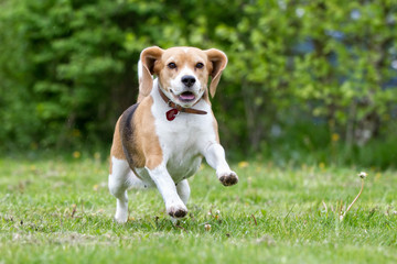 Beagle dog running outdoors in nature