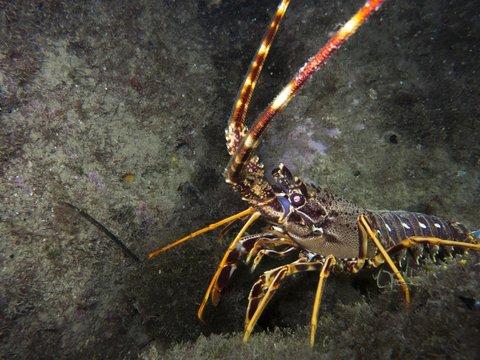 Beautiful lobster
